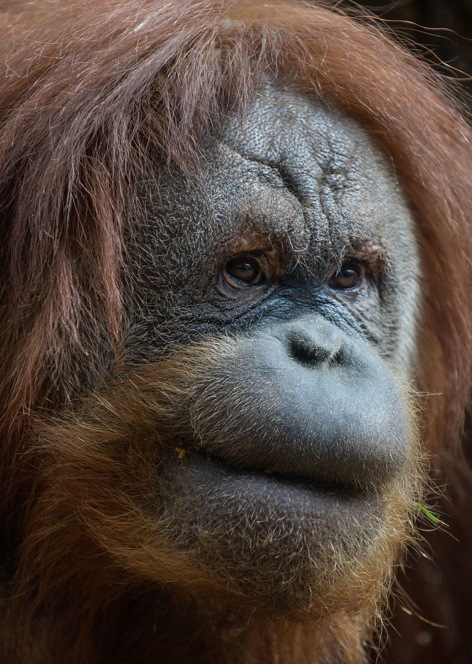 ROME, ITALY - MARCH 28:  An Orangutan stands in the new area dedicated to orangutans at the Bioparco zoo on March 28, 2014 in