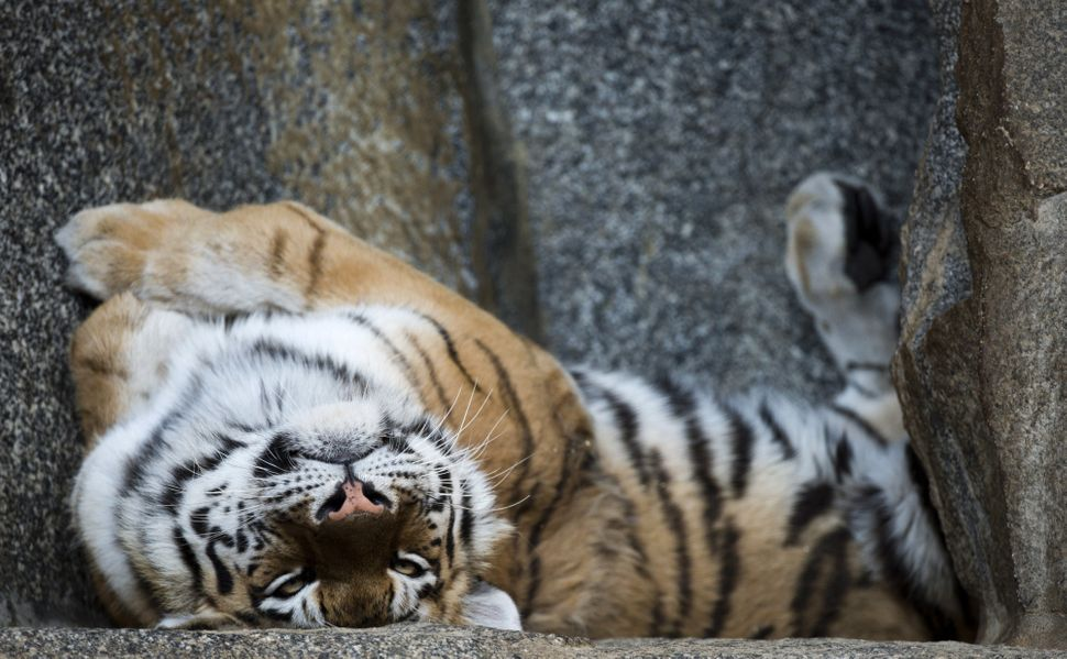 A Siberian tiger lies on its back in its enclosure at Berlin's Tierpark zoo on March 27, 2014.  (JOHN MACDOUGALL/AFP/Getty Im