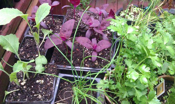 "<a href=""http://www.gardening.cornell.edu/homegardening/scene80ea.html"" target=""_blank"">Orach</a>, also called purple orach,"