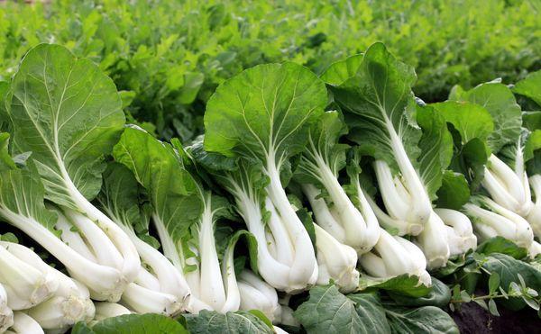 """<a href=""""http://www.gardening.cornell.edu/homegardening/scene0bdf.html"""" target=""""_blank"""">Bok choy</a> is delicious in stir fri"""