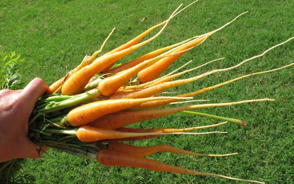 """<a href=""""http://www.gardening.cornell.edu/homegardening/scenea765.html"""" target=""""_blank"""">Carrots</a> are also easy growers, an"""