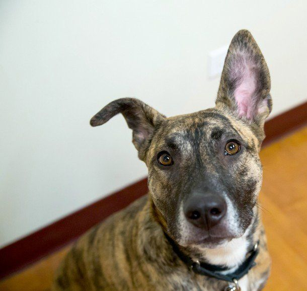 Beulah is a beautiful two-year-old Belgian Tervuren/Staffordshire terrier mix looking for a home to call her own.   Beulah is