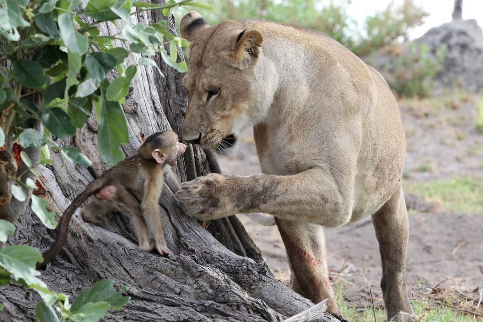 The lioness notices the baby baboon and begins to play roughly.