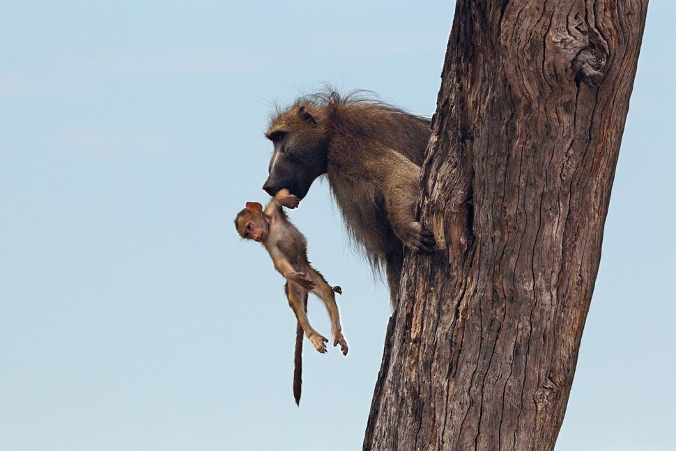 The father of the baby baboon had been watching from a tree nearby and finally scooped the baby to safety.