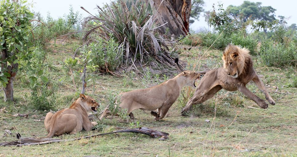 The female lions chase off two male lions.