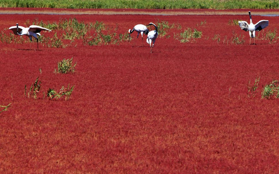 "China's ""Red Beach"" gets its vibrant hue from a particular kind of seaweed that transforms from green to crimson in the fall."