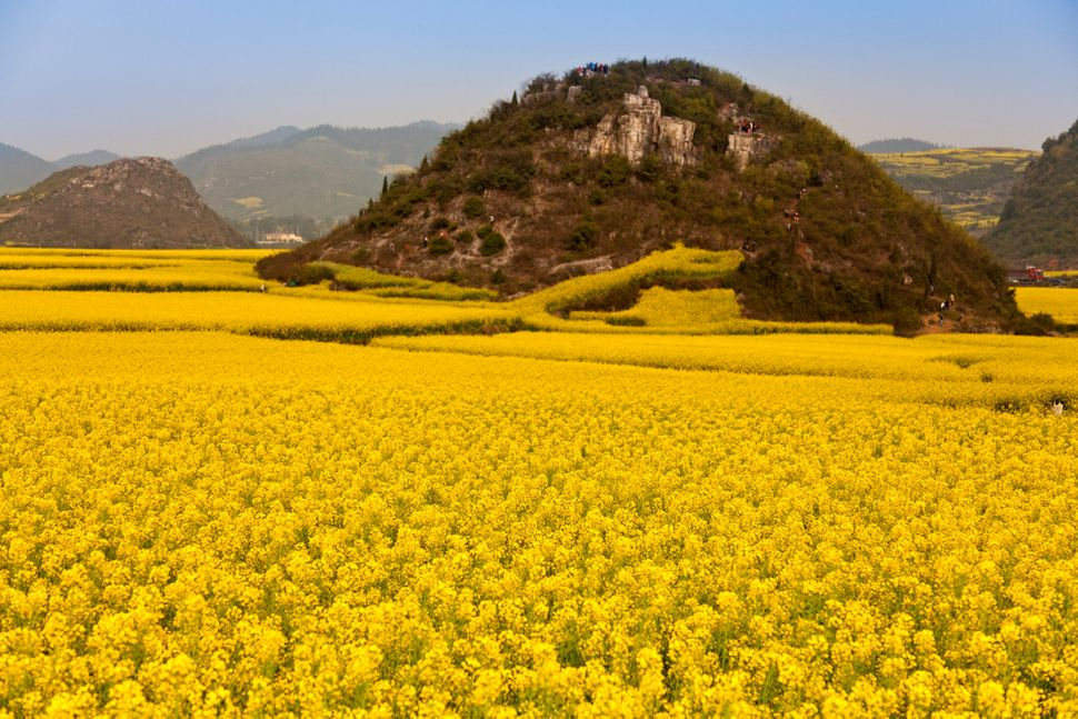 "It is no wonder China's canola flower fields are often referred to as a ""golden sea."" The sunshine party is in full blossom f"