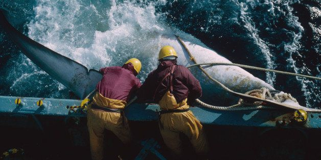 The crew of a Japanese whaling vessel drag an injured whale to the side of the ship during a scientific research mission in t