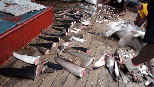 Several states and territories have laws that prohibit the possession, sale and trade of shark fins, but last year, the Natio