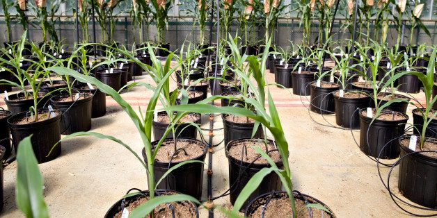 Corn plants grow in a greenhouse at the Monsanto Chesterfield Village facility in Chesterfield, Missouri, U.S., on Thursday,