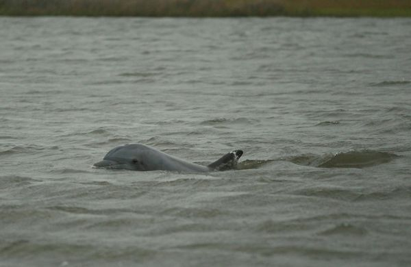 "<a href=""https://www.huffpost.com/entry/gulf-oil-spill-dolphins_n_4466409?utm_hp_ref=bp-oil-spill"" target=""_hplink"">A late 20"