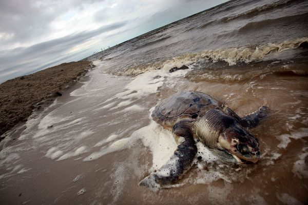 "NOAA research released in August 2013 found <a href=""http://www.nmfs.noaa.gov/pr/species/turtles/gulfofmexico.htm"" target=""_h"