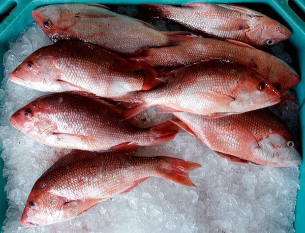 In the immediate aftermath, red snapper in the affected area were found with lesions and rotting fins. While such physical sc