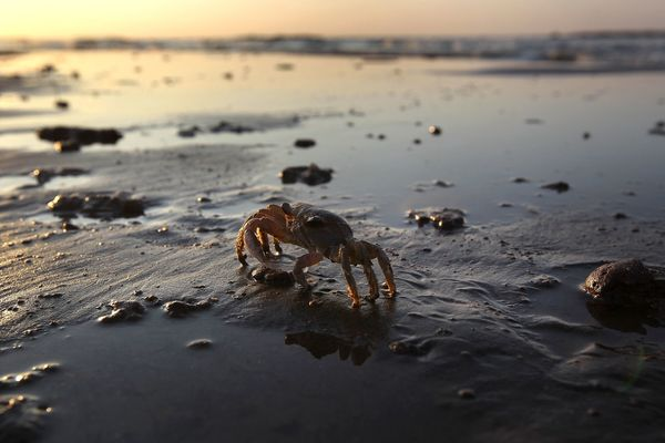 "Crab populations are also down, with <a href=""http://www.houmatoday.com/article/20130423/ARTICLES/130429832?p=1&tc=pg"" target"