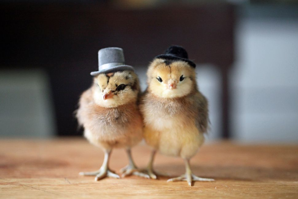 One little bird outfits in a top hat (left), while a companion goes for a different kind of flair in a bowler (right).