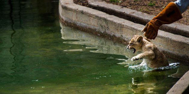 WASHINGTON, DC - May 6:  Biologist Leigh Pitsko drops the first, a male, of four African lion cubs 10-weeks-old into a pool f