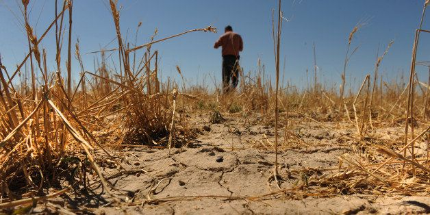 The drought in southern Colorado has destroyed a significant amount of crops like winter wheat, Tuesday, July 19, 2011, at Ch