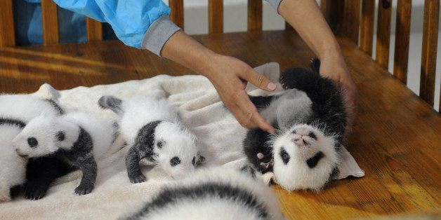 This picture taken on September 23, 2013 shows new-born panda cubs displayed on a crib during a press conference at the Cheng