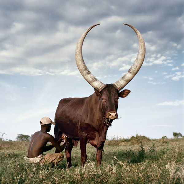 Ankole 3. Outside Mbarara, Kiruhura district, Western Region, Uganda, 2012