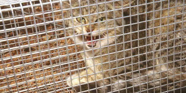 Feral cat, Felis catus, in trap, Wiluna, Western Australia (Photo by: Auscape/UIG via Getty