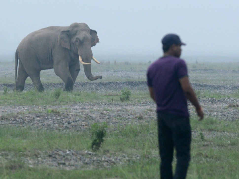 An Indian forest guard keeps watch as a wild elephant looks on near the Mechi River, the border of India and Nepal, some 56 k