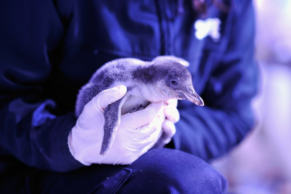 LONDON, ENGLAND - JUNE 03:  A Gentoo Penguin chick is held before its weighed at The Sea Life London Aquarium on June 3, 2014