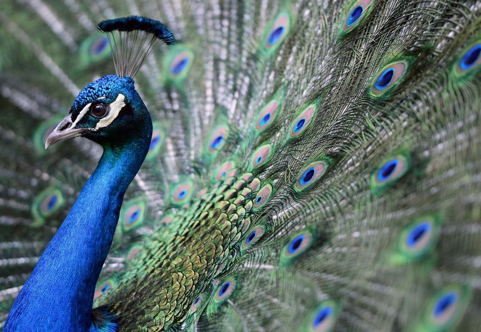 A peacock is flourished on its colors in the 'Magan Zoo Abony', a private zoo of Abony town, about 90 kilometres east of Buda