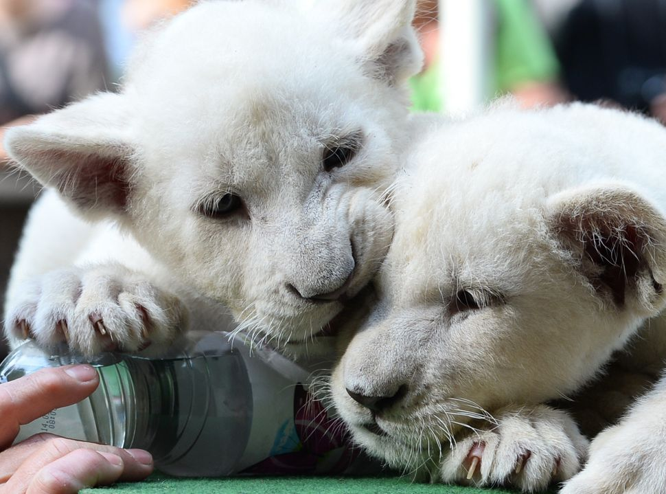 Two eight-week old white lion cubs, Mombasa and Nala play intheir new home in Abony, Hungary on June 3, 2014. The brother and