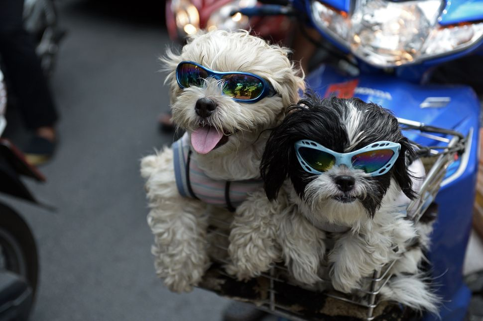 Pet dogs with sunglasses sit in the front basket of a motorcycle as people commute on a main road in Bangkok on June 3, 2014.