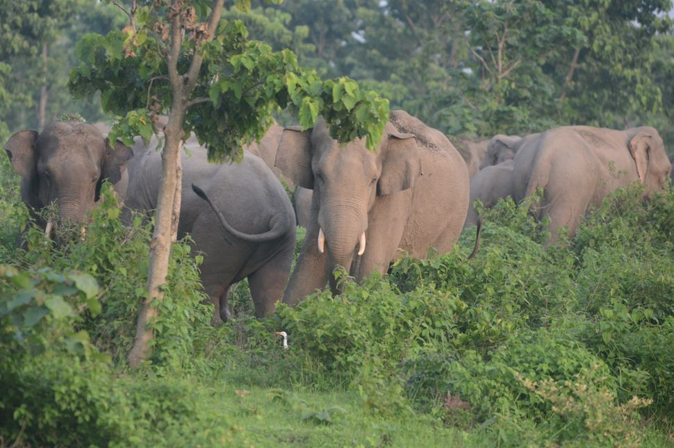 In this photo taken on June 3, 2014, a herd of wild elephants roams in the Kalabari forest close to the village of Naxalbari,