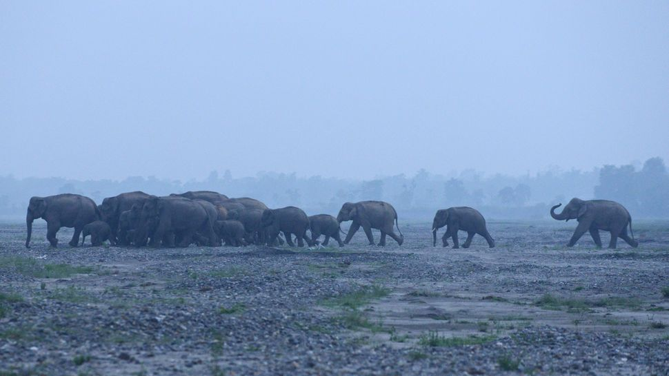 A herd of wild elephants is pictured as they cross the Mechi River, the border of India and Nepal, some 56 kms from Siliguri