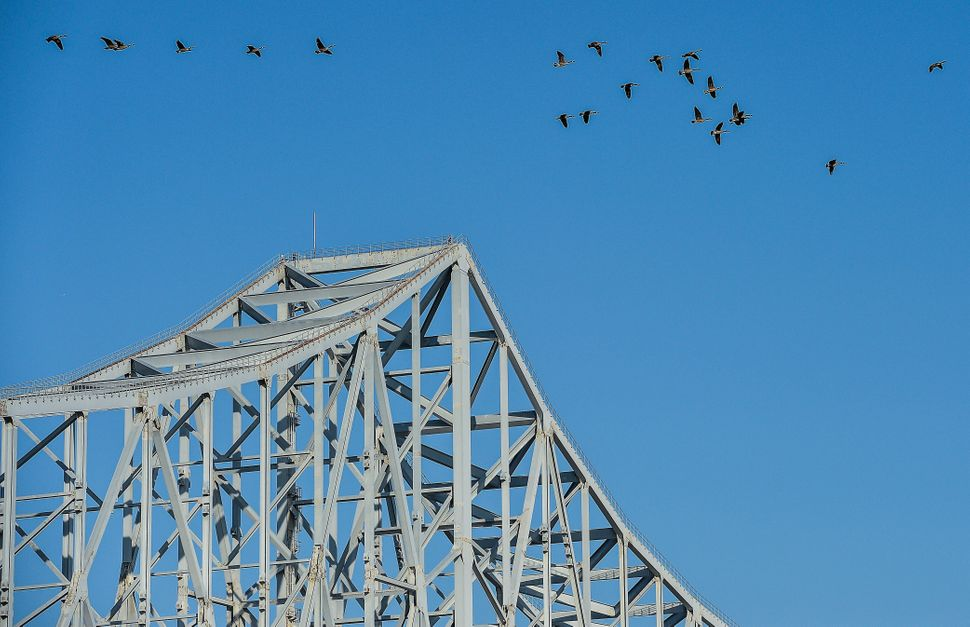 Geese fly over the Commodore Barry Bridge in Chester, Pennsylvania, on June 2, 2014.  (NICHOLAS KAMM/AFP/Getty Images)