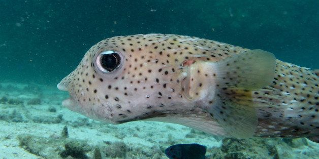 This is Porky the Puffer Fish, well known to the dive instructors off Ko Haa, since he comes to investigate...