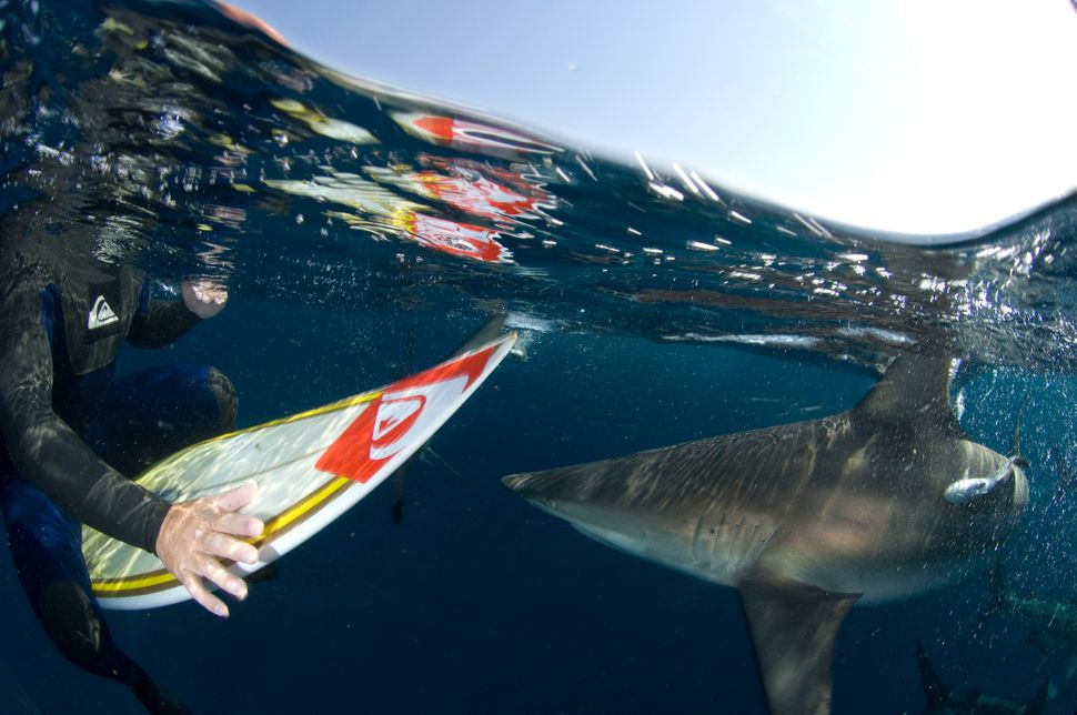 A surfer pilots the reaction of sharks to a new surfboard prototype.