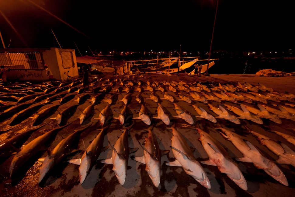 Awaiting auction, a single boat's catch of silky sharks is laid out in an orderly grid.