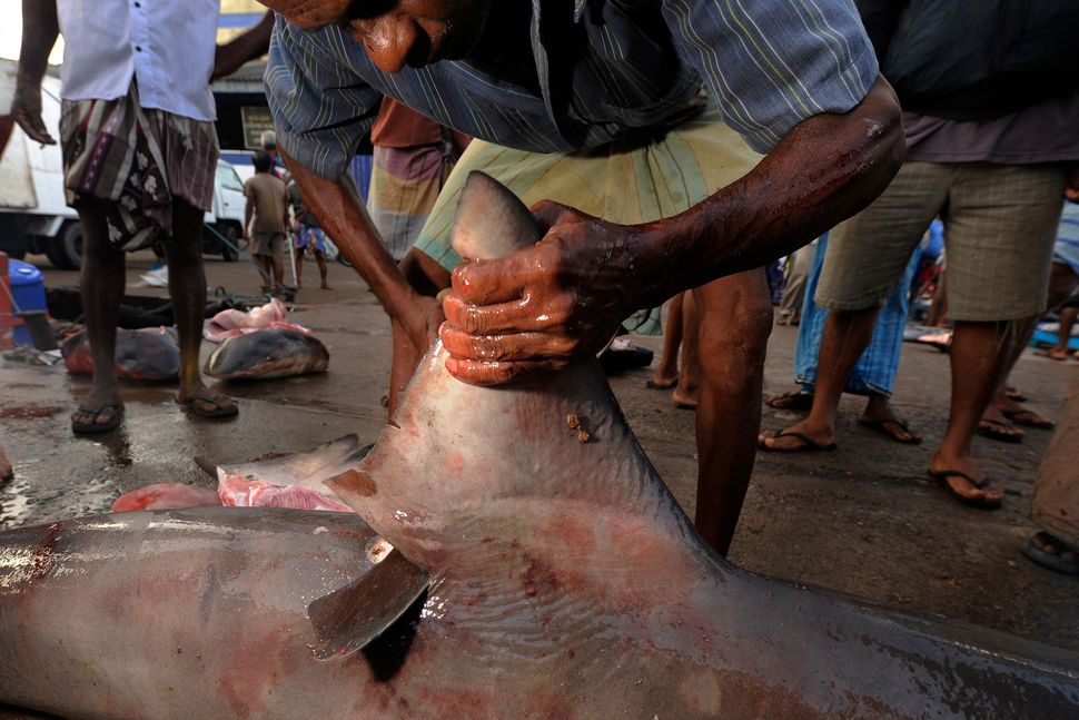 A butcher in a Sri Lankan fish market deftly severs the dorsal fin of a bull shark.