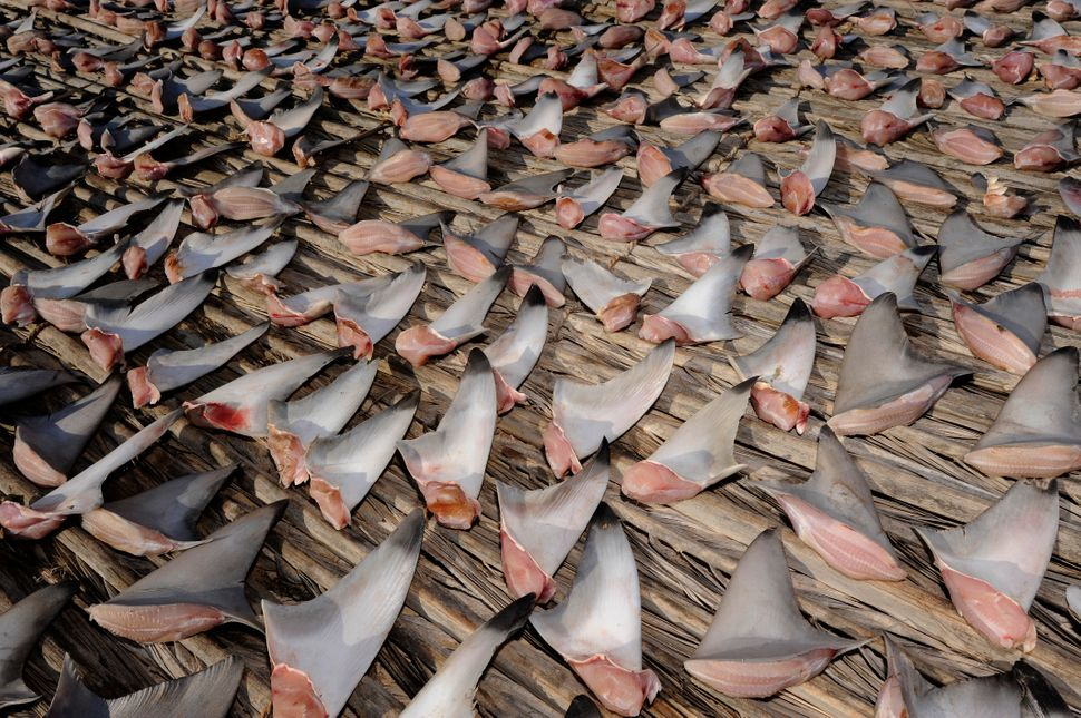 Shark fins are laid out to dry in the sun before being packed and shipped to buyers.