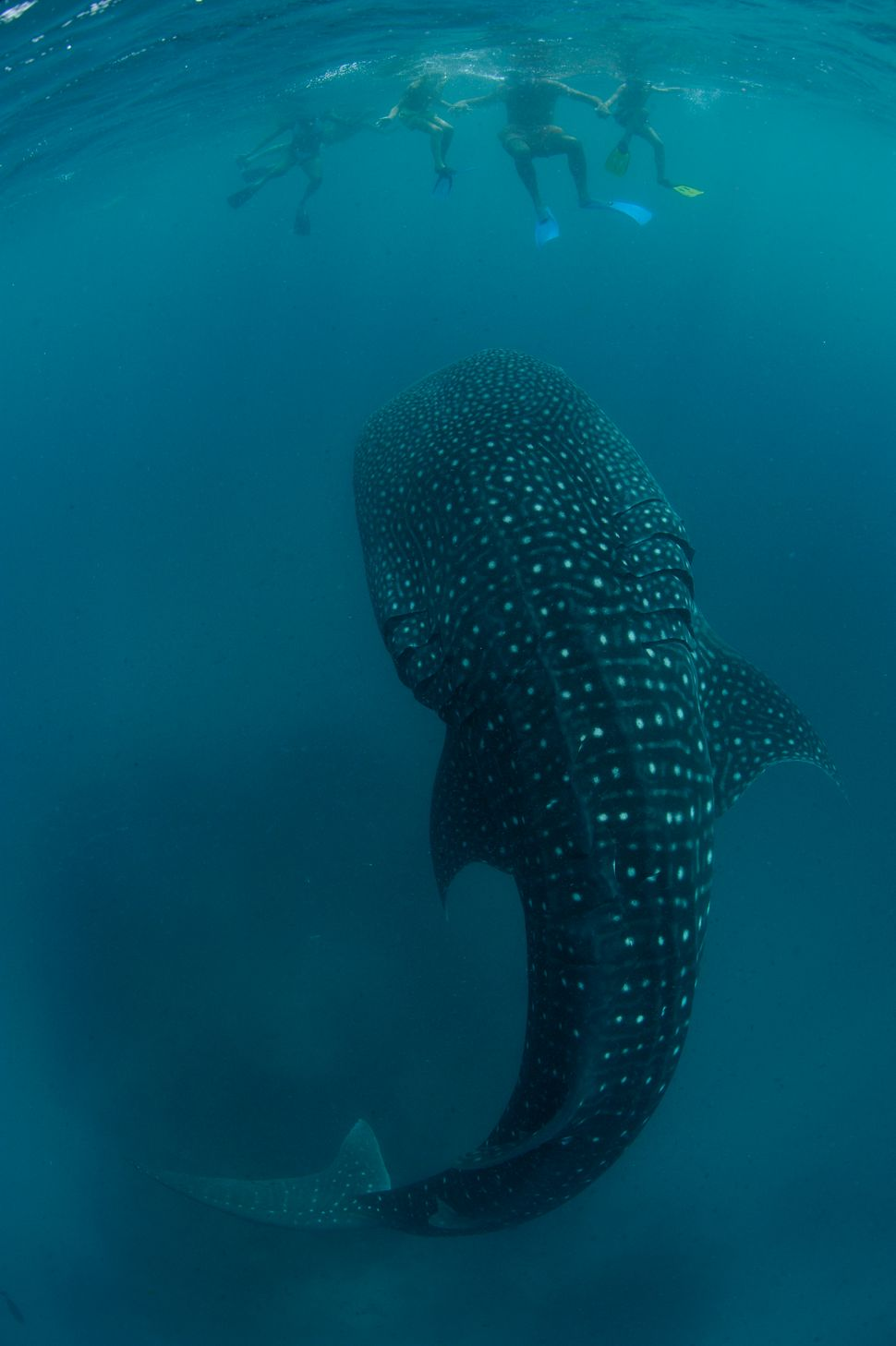 An ambling whale shark feeds on plankton just below a group of onlooking tourists.