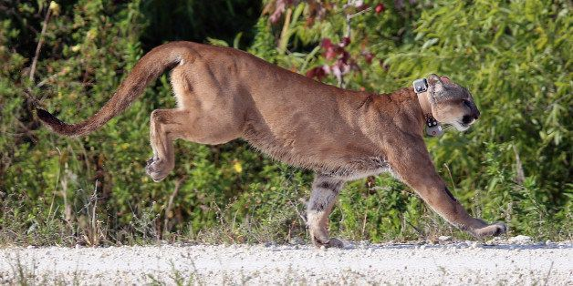 WEST PALM BEACH, FL - APRIL 03:  A 2-year-old Florida panther is released into the wild by the Florida Fish and Wildlife Cons