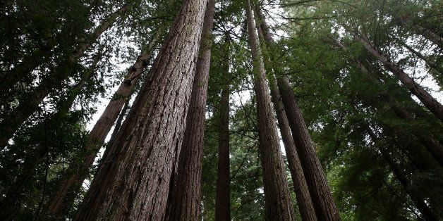 MILL VALLEY, CA - AUGUST 20:  Coastal Redwood trees stand at Muir Woods National Monument on August 20, 2013 in Mill Valley,