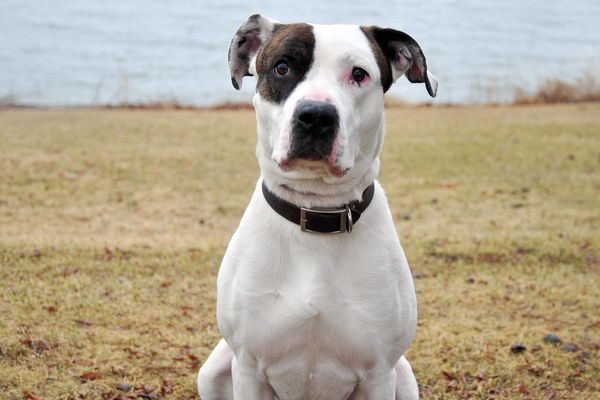These 16 Dogs Are Heroes  They Are Also Pit Bulls  | HuffPost