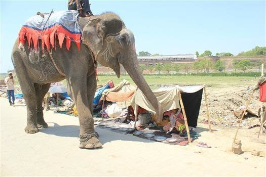 Raju working as a begging elephant.