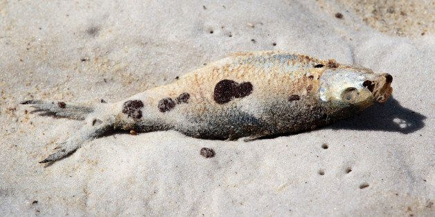 ORANGE BEACH, AL- JUNE 27:  A dead fish laying on the sand is seen with oil residue on it from the Deepwater Horizon oil spil