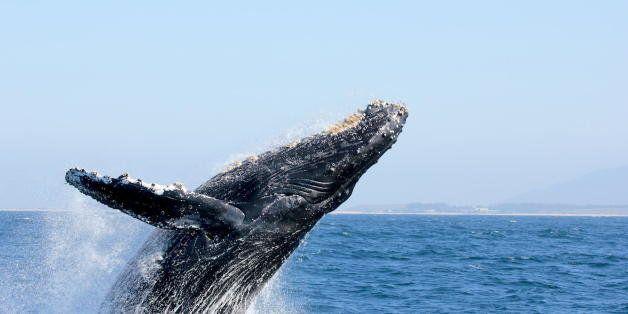 Humpback whale breaching in Monterey Bay, near Moss Landing.