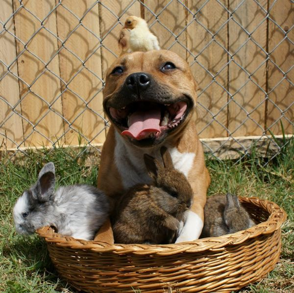 "This is <a href=""https://www.huffpost.com/entry/boom-pit-bull-photos_n_2956623"" target=""_blank"">Boom</a>. Boom is a Staffords"