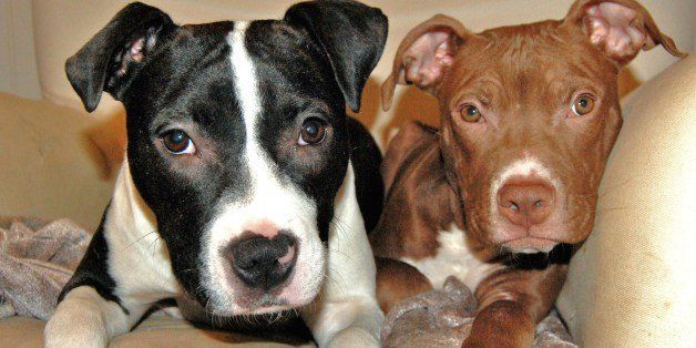 """19 Dec 2010. Root Beer (""""Rooty"""") is a 5-month old pit bull mix who was found as a stray by a Maryland shelter. He i"""