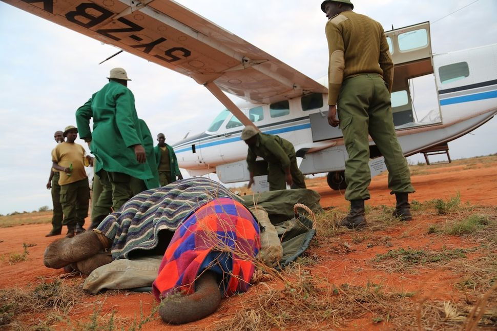 If an orphaned elephant is found in an remote region, rescuers must charter an airplane in order to transport the calf to the