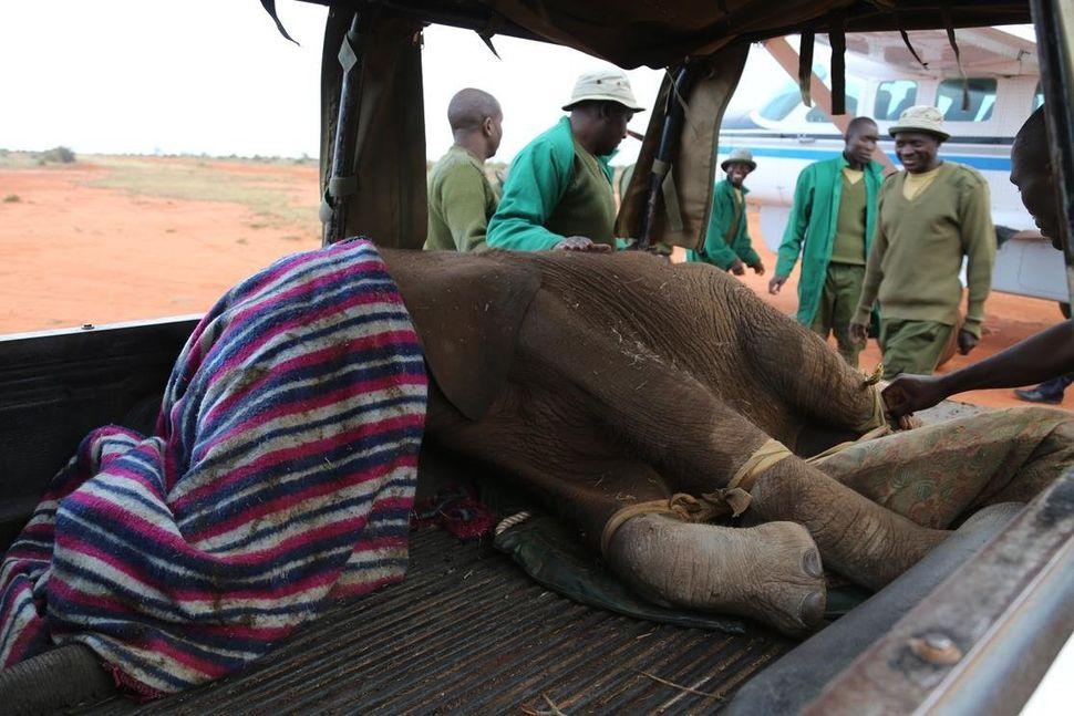 A team transfers an elephant in Northern Kenya.