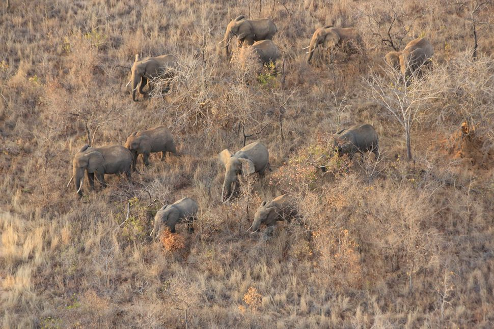 The organization often uses aerial surveillance to monitor herds of elephants and protect them against poaching activities. A