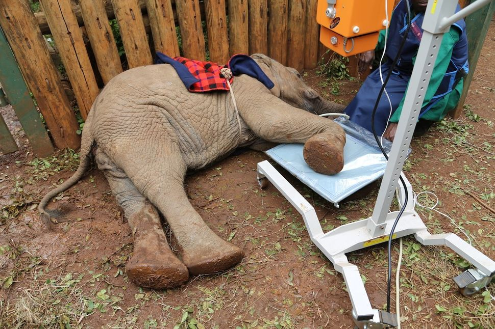 A worker prepares to take an x-ray of an elephant with an injured foot.